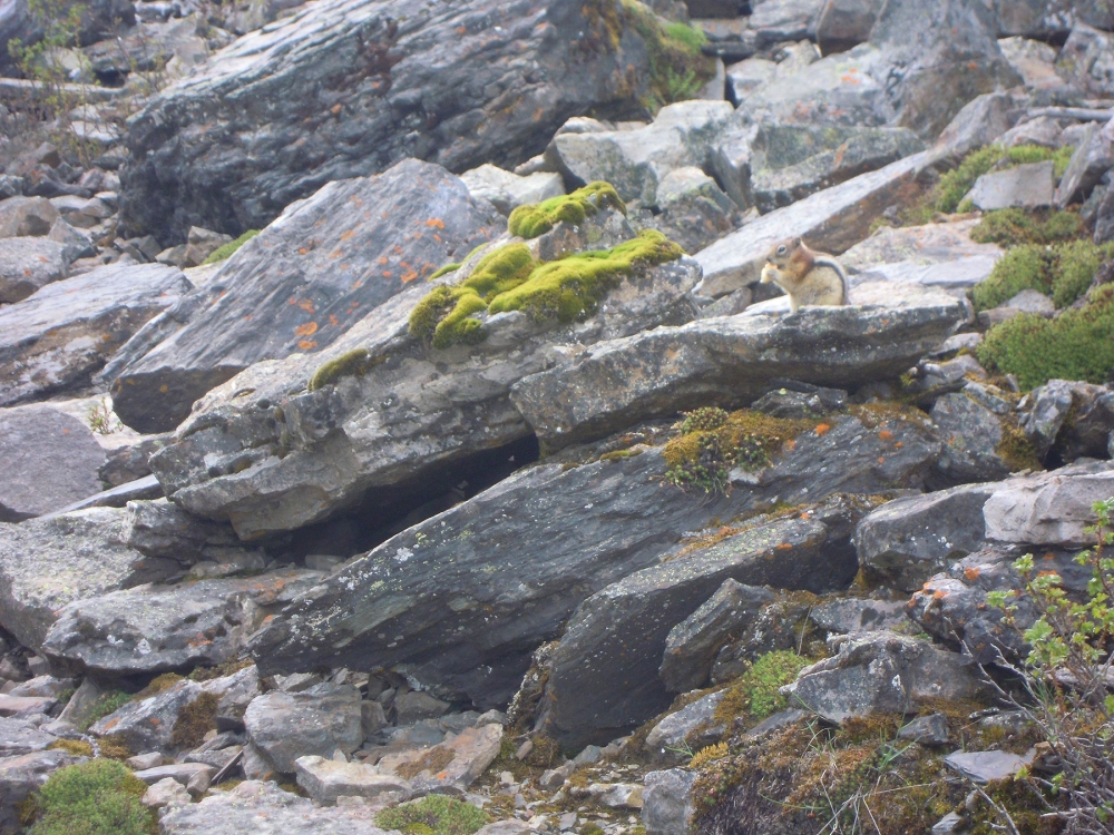 GroundSquirrel, Rockies, Lake Louise